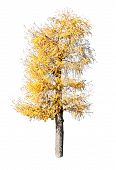 Yellow larch Tree