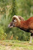 Big Mouflon Ram Over Green Background