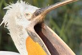 Dalmatian Pelican With Open Beak