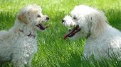 image of bichon frise dog  - Two small Bichon type dogs taking a rest. ** Note: Soft Focus at 100%, best at smaller sizes - JPG