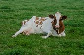 Red Holstein In Grass