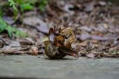 Snail Eating A Large Insect
