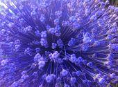close up of allium flower