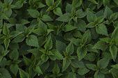 Beauty background of green nettle leaves