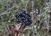 Ripe fructus ebuli (Sambucus ebulus)