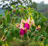 Blossoming Beautiful Branch Of Colorful Fuchsia In Nature, India, Closeup