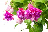 Blossoming Beautiful Branch Of Delicate Colorful Fuchsia, Isolated On White Background, `kathy's Spa