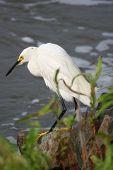 Wet Snowy Egret 3