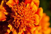 Single Tagetes Flower With Dewdrops Macro