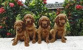 Four irish setter puppies