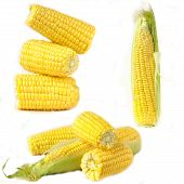 collage of ripe organic yellow corn on a white background