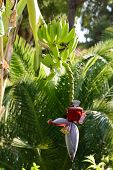 Green bananas on the tree and flower