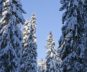 Tall trees and branches covered of snow.