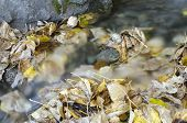 picture of choke  - Yellow and brown leaves choke a creek - JPG