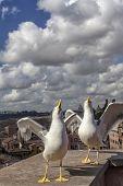Seagulls In Rome