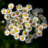 foto of feverfew  - Feverfew (Tanacetum parthenium) medicinal herb in the garden