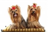 Two Yorkshire Terriers