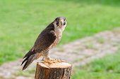 Tamed And Trained Fastest Bird Predator Falcon Or Hawk