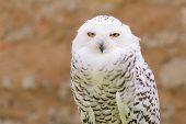 Wild Silent Raptor Bird White Snowy Owl