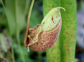picture of nepenthes-mirabilis  - closeup of nepenthes with blur in the garden - JPG