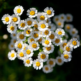 image of feverfew  - Feverfew (Tanacetum parthenium) medicinal herb in the garden ** Note: Shallow depth of field - JPG