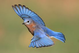 stock photo of bluebird  - Male Eastern Bluebird (Sialia sialis) in flight ** Note: Soft Focus at 100%, best at smaller sizes - JPG