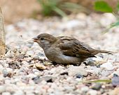 Passer Domesticus, House Sparrow