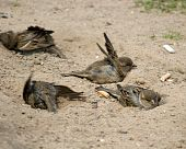 Passer Domesticus, House Sparrow