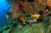 picture of bigeye  - Oriental Sweetlips fish and Crescent - JPG