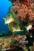 stock photo of bigeye  - Oriental Sweetlips fish and Crescent - JPG