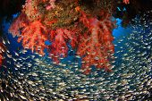 pic of swarm  - Coral Reef with swarms of Glassfish  - JPG