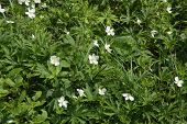 image of strawberry plant  - Wild Strawberry plant blossoming beside an old country road - JPG