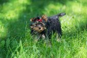 picture of yorkshire terrier  - Puppy Yorkshire Terrier walking in the Park on green grass - JPG