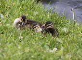 image of baby duck  - Baby Ducks in Saskrtchewan Canada wetlands wild - JPG