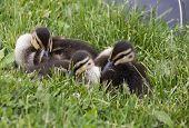 picture of baby duck  - Baby Ducks in Saskrtchewan Canada wetlands wild - JPG