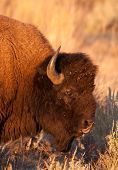 pic of lamar  - American Bison Bull glares at other bison while bathed in golden evening light in Yellowstone National Park - JPG