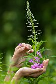 pic of willow  - hands gathering flowers of willow - JPG