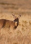 Whitetail Buck en la hierba