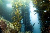 Onderwater Kelp Forest Anacapa Island, Californië