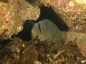 Underwater Scene With Giant Moray Eel, Catalina Island, California