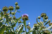 Artischocken Ernte auf Bio-Bauernhof