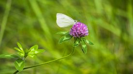 picture of moth  - Cabbage Looper Moth on Purple Clover. White Moth on Clover. Pieris rapae.