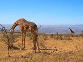Duas girafas selvagens, Parque Serengeti, Tanzânia
