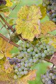 grapes (Weiser Riesling Kl.7 Steinberg), Germany