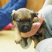 pic of border terrier  - puppy  - JPG