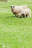 sheep with a lamb, Bosnia and Herzegovina