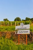 vineyards of Pouilly-Fuisse, Cote Maconnais, Burgundy, France