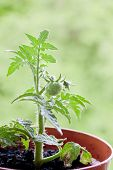 stock photo of tomato plant  - Tomato seedlings - JPG
