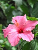 image of hibiscus flower  - This is a photo of a pink hibiscus.