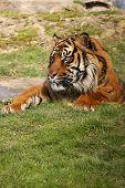 Tigre en el agujero del agua